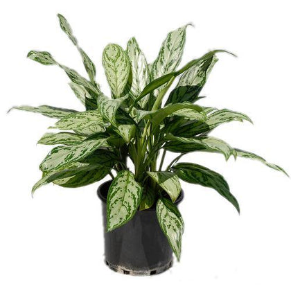 Indoor plants online in dubai-uae-Aglaonema Silver Queen - Chinese Evergreen Plant