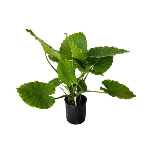 Indoor plants online in dubai-uae-Alocasia California - Non Flowering Elephant Ear Plant