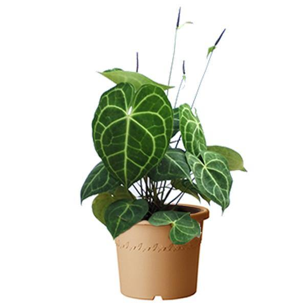 Indoor plants online in dubai-uae-Anthurium Crystallinum - The Flamingo Flower