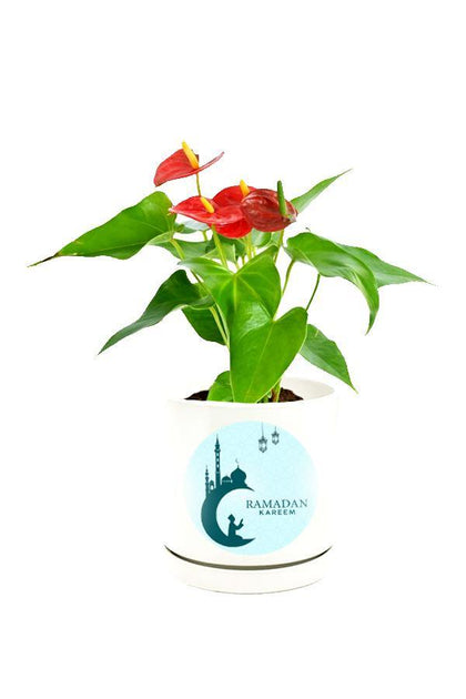 Anthurium Red Plant  in a Customized White Pot.