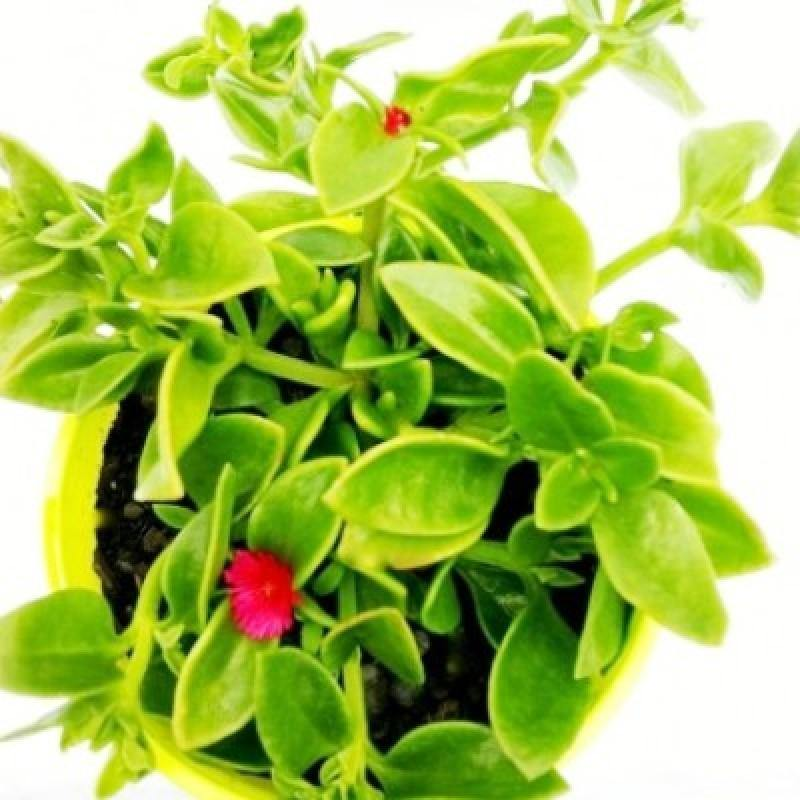 Outdoor plants online in dubai-uae Aptenia-Baby-sun-rose