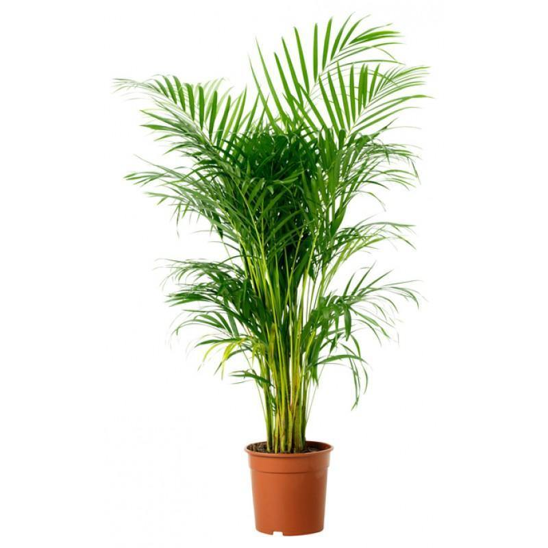 Indoor plants online in dubai-uae-Areca Palm-Chrysalidocarpus