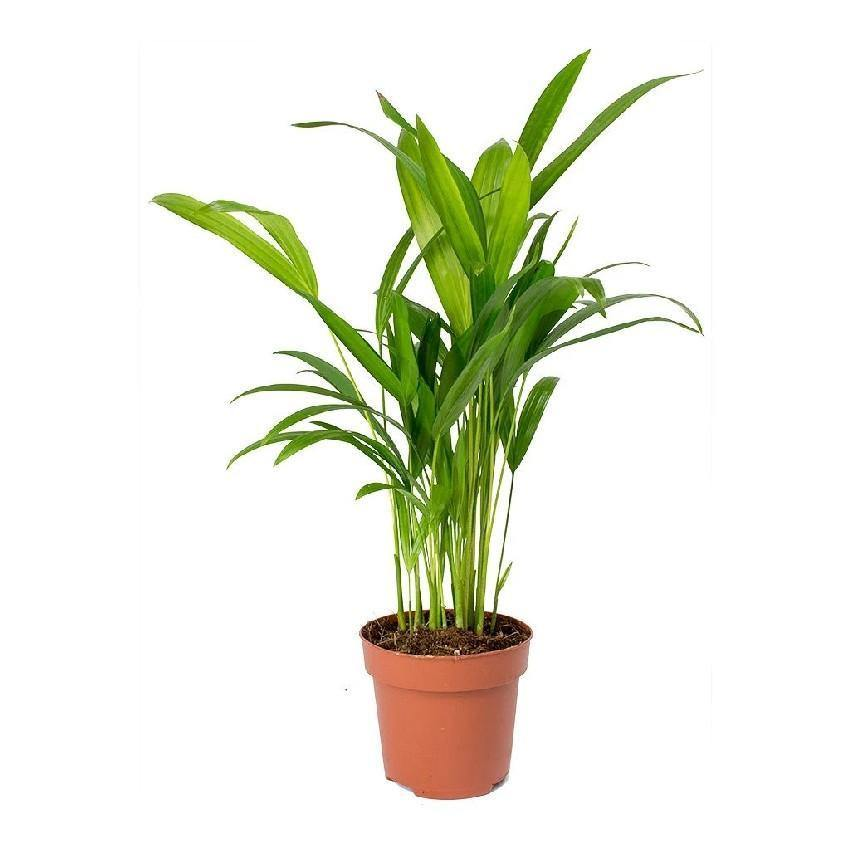 Indoor plants online in dubai-uae-Areca Palm Small - Chrysalidocarpus Lutescens