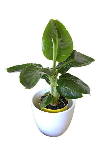 Indoor plants online in dubai-uae-Banana Indoor Small - Indoor Plant