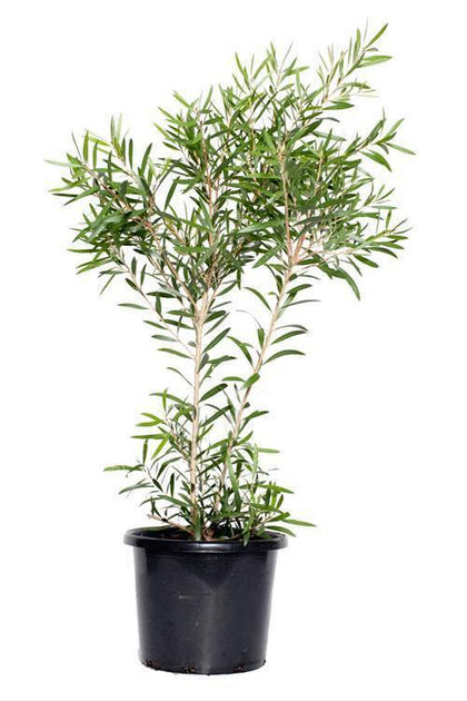 Outdoor plants online in dubai-uae Bottle-Brush-Callistemon-viminalis