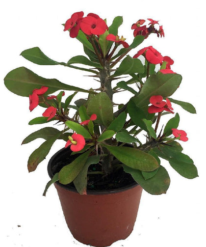 Outdoor plants online in dubai-uae Christ-Plant-Euphorbia-milii