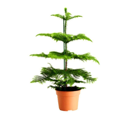 Outdoor plants online in dubai-uae Christmas-Tree-Araucaria-columnaris