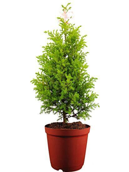 Indoor plants online in dubai-uae-Christmas Tree - Indoor Plant