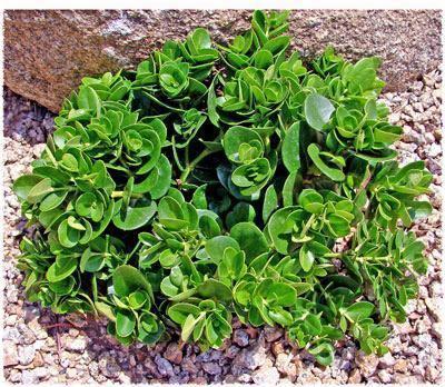 Outdoor plants online in dubai-uae Compact-Natal-Plum-Carissa-macrocarpa