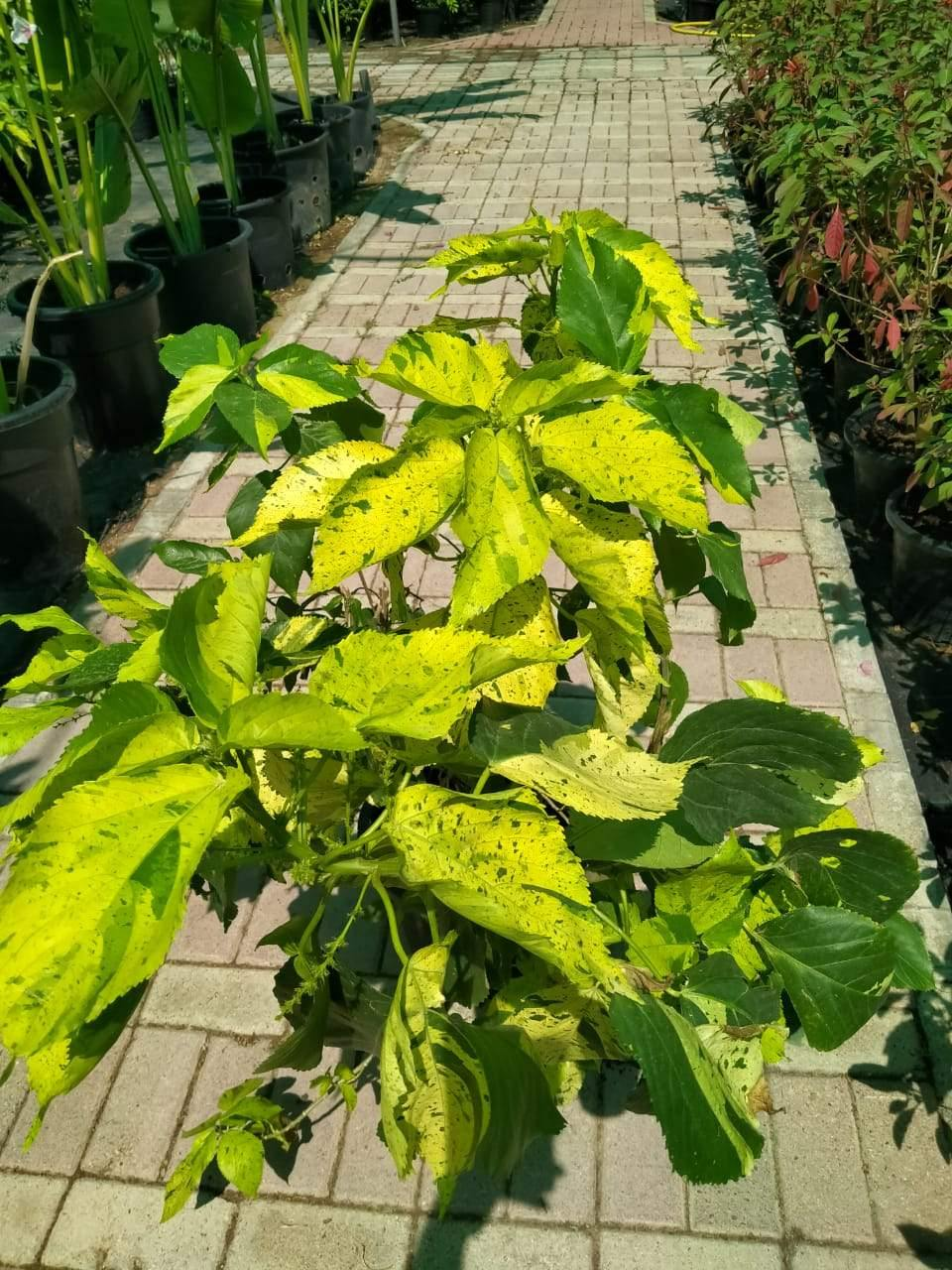 Copper Leaf Green-Acalypha