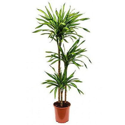 Indoor plants online in dubai-uae-Corn Plant - Dracaena Massangeana