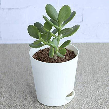 Indoor plants online in dubai-uae-Crassula Ovata - Dollar Plant