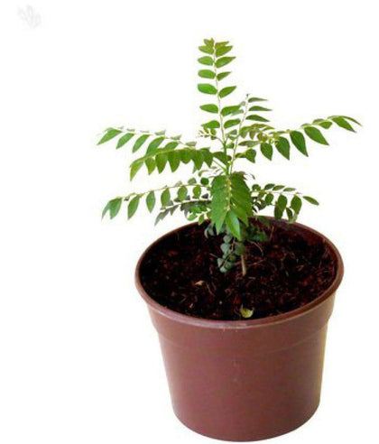 Outdoor plants online in dubai-uae Curry-leaves-Murraya-koenigii