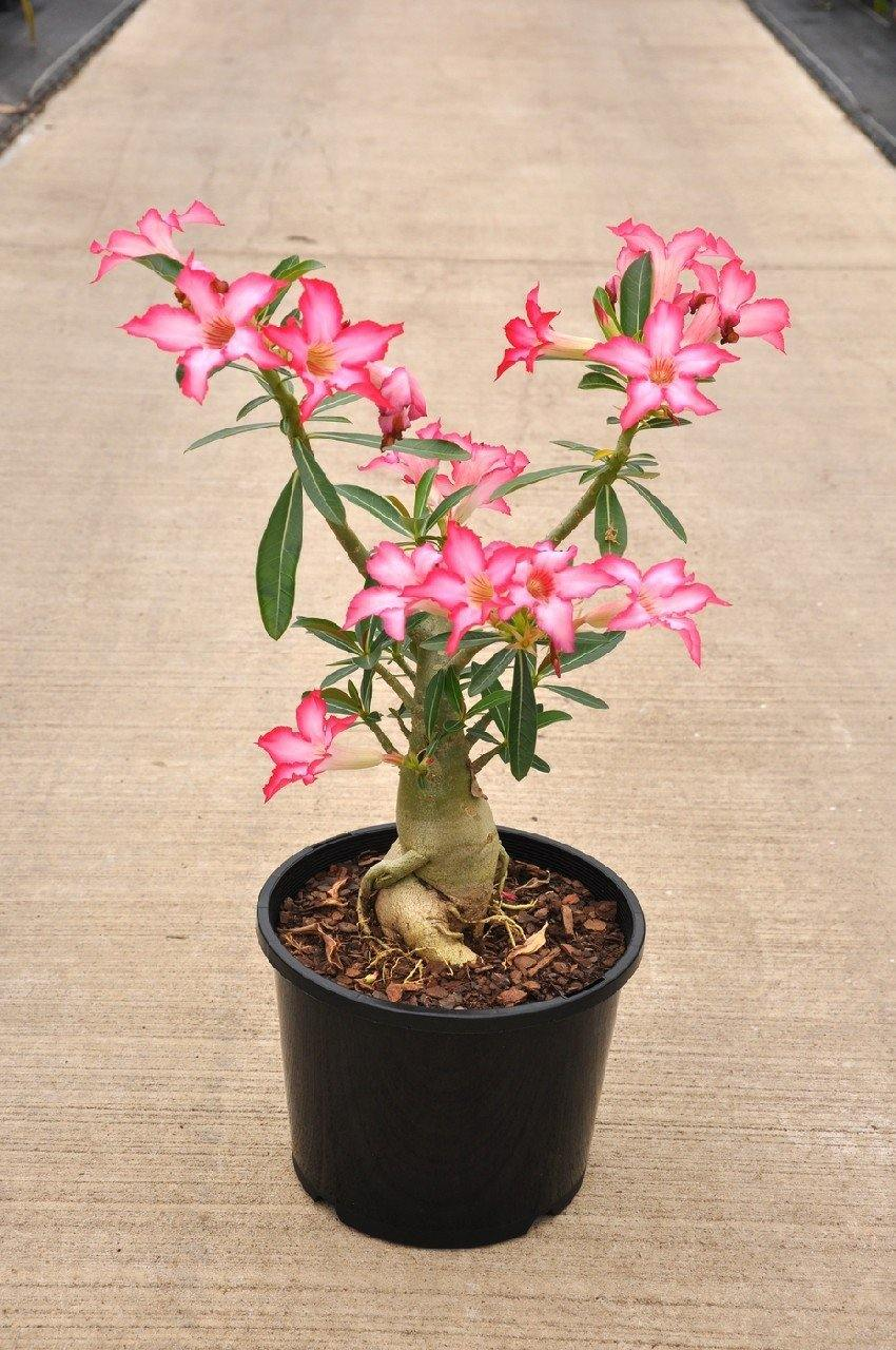 Outdoor plants online in dubai-uae Desert-Rose-Adenium-obesum