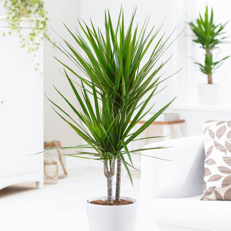 Indoor plants online in dubai-uae-Dracaena Marginata Small - low light evergreen plant