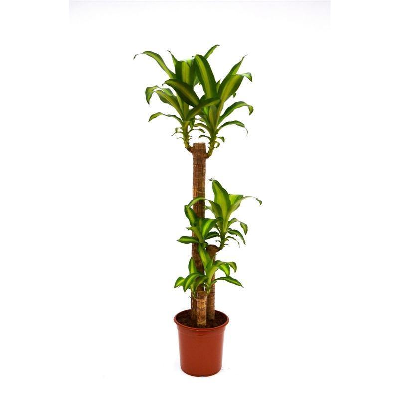 Indoor plants online in dubai-uae-Dracaena Massangeana - Dracaena Fragrans