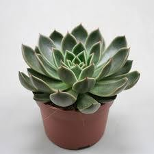 Indoor plants online in dubai-uae-Echeveria OVR - Evergreen Succulent