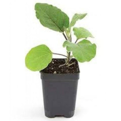 Outdoor plants online in dubai-uae Egg-Plant-Solanum-melongena