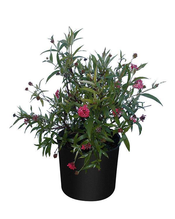Outdoor plants online in dubai-uae Egyptian-Starcluster-Pentas-lanceolata
