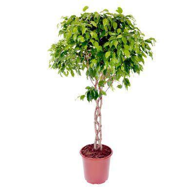 Indoor plants online in dubai-uae-Ficus Benjamina Cylinder - Weeping Fig