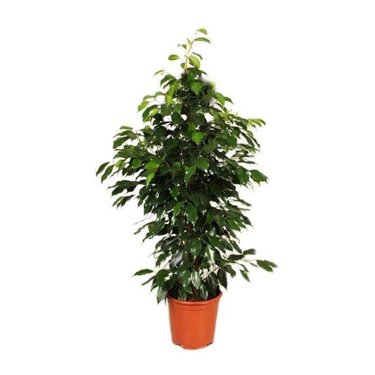 Indoor plants online in dubai-uae-Ficus Benjamina - Weeping Fig