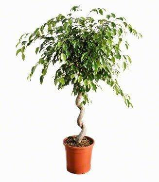 Indoor plants online in dubai-uae-Ficus Benjamina Twisted - Benjamin Fig