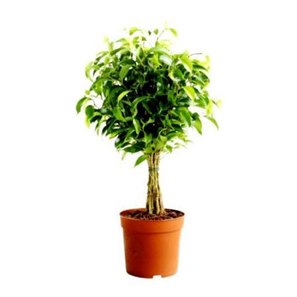Outdoor plants online in dubai-uae Ficus-Panda-Ficus-retusa
