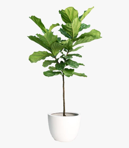 Indoor plants online in dubai-uae-Fiddle Leaf Fig Branched - Ficus lyrata