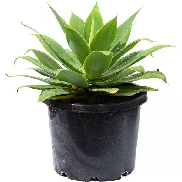 Outdoor plants online in dubai-uae Foxtail-Agave-Agave-attenuata