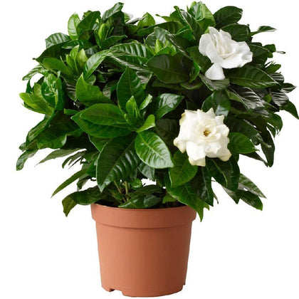 Indoor plants online in dubai-uae-Gardenia - Cape Jasmine