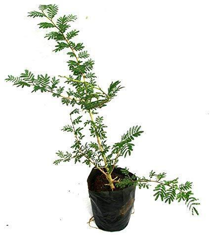 Outdoor plants online in dubai-uae Ghaf-–-National-Tree-Of-UAE-Prosopis-cineraria