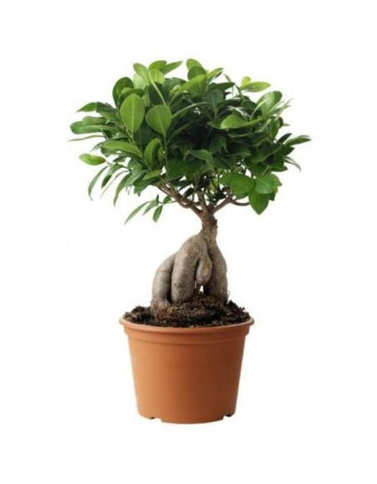 Outdoor plants online in dubai-uae Ginseng-Bonsai-30cm-Outdoor-Ficus-Bonsai