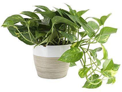Indoor plants online in dubai-uae-Golden Pothos - Scindapsus Aureus