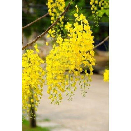 Outdoor plants online in dubai-uae Golden-Shower-Tree-Cassia-fistula