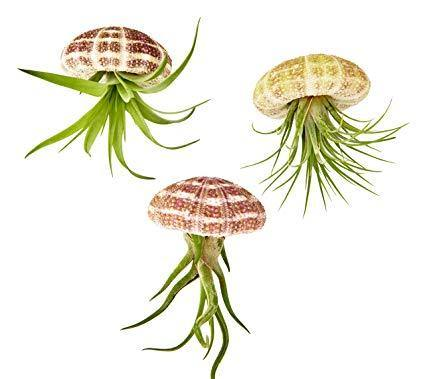 Indoor plants online in dubai-uae-Hanging Jellyfish Airplant - Tillandsia Air Plants
