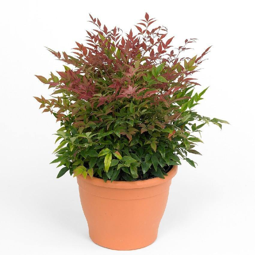 Indoor plants online in dubai-uae-Heavenly Bamboo Obsession - Nandina Domestica Obsessed
