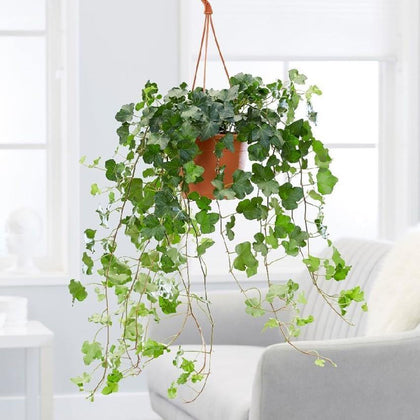 Indoor plants online in dubai-uae-Hedera Helix - English Ivy