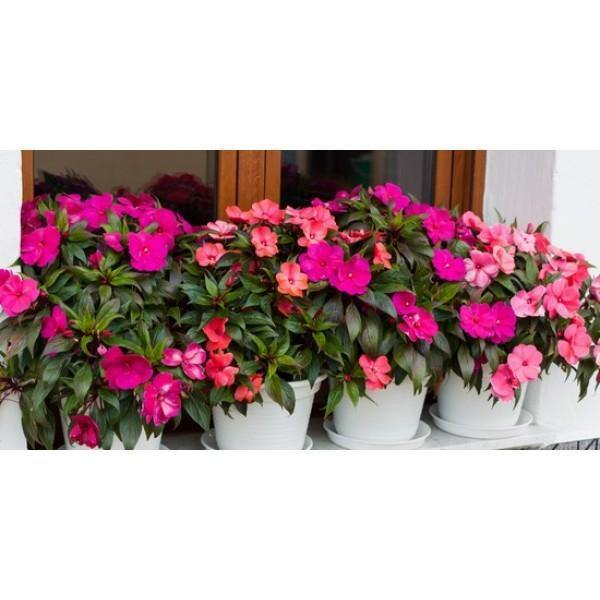 Outdoor plants online in dubai-uae Impatiens-Impatiens-walleriana
