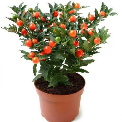 Outdoor plants online in dubai-uae Jerusalem-Cherry-Solanum-pseudocapsicum