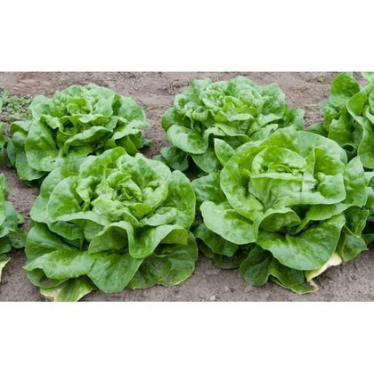 Outdoor plants online in dubai-uae Lettuce-Lactuca-sativa