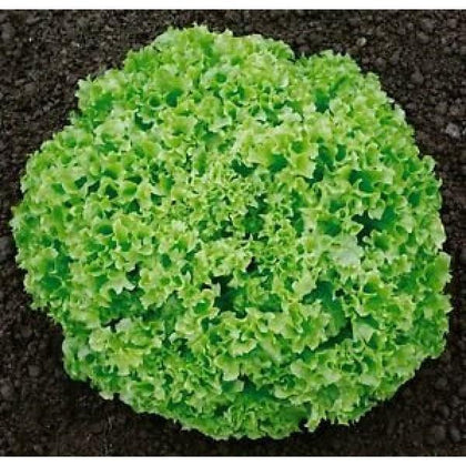 Outdoor plants online in dubai-uae Lettuce-Lollo-Green-Organic)-Lollo-Rossa