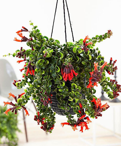Indoor plants online in dubai-uae-Lipsticks Plant Twisted - Aeschynanthus Lipstick