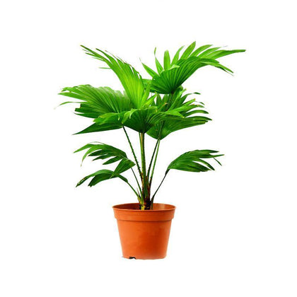 Indoor plants online in dubai-uae-Livistona australis-Cabbage Tree Palm