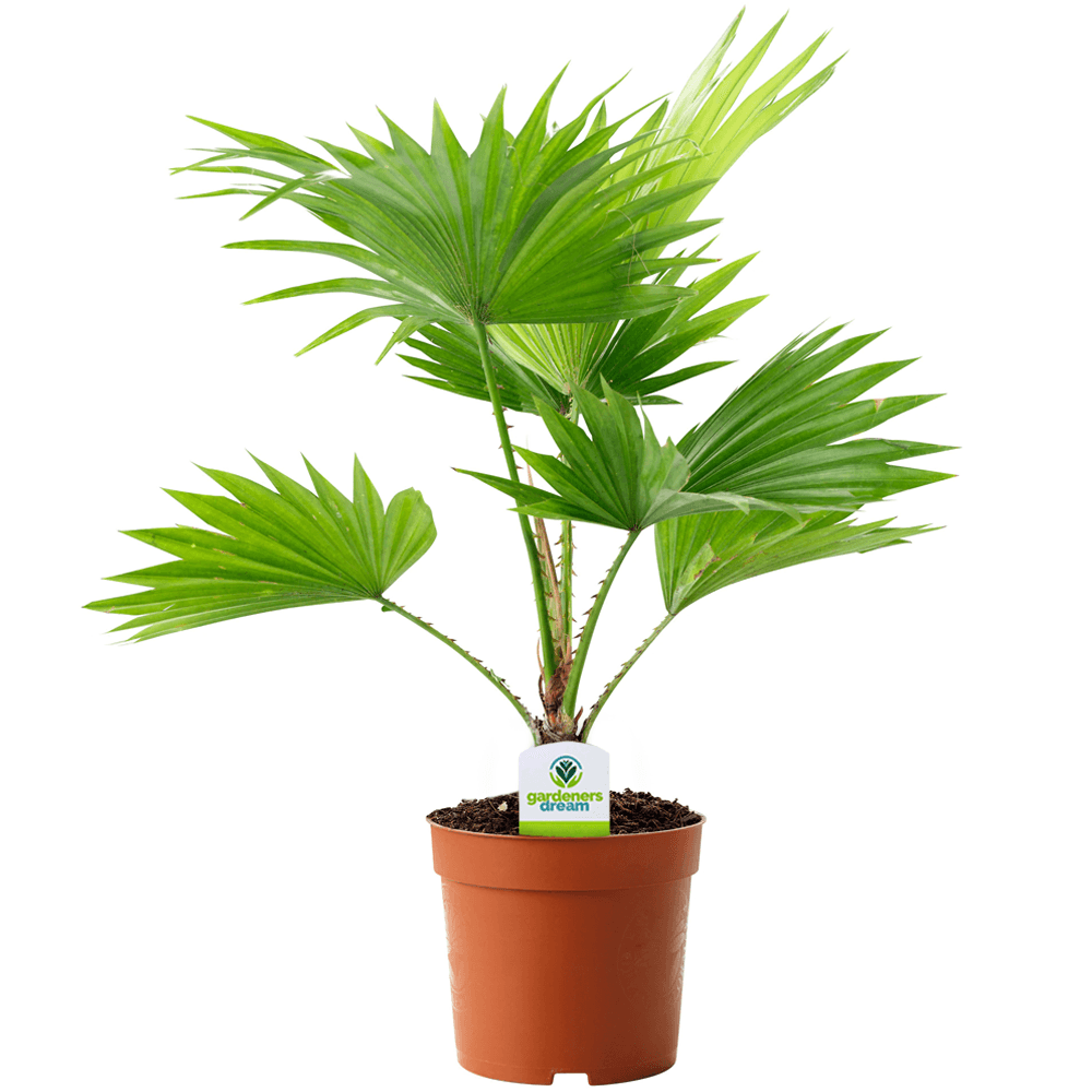 Livistona Palm - Indoor Palm