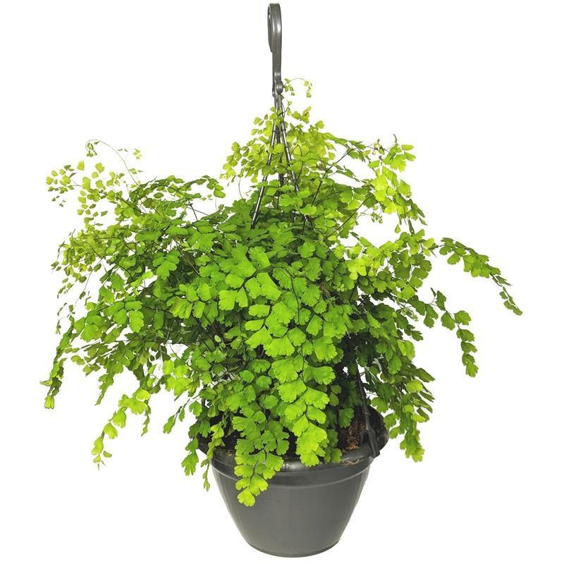 Indoor plants online in dubai-uae-Maidenhair Fern Fragrans-Adiantum Raddianum