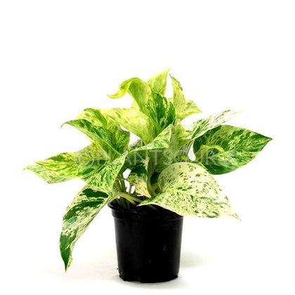 Indoor plants online in dubai-uae-Marble Plant-Indoor Plant