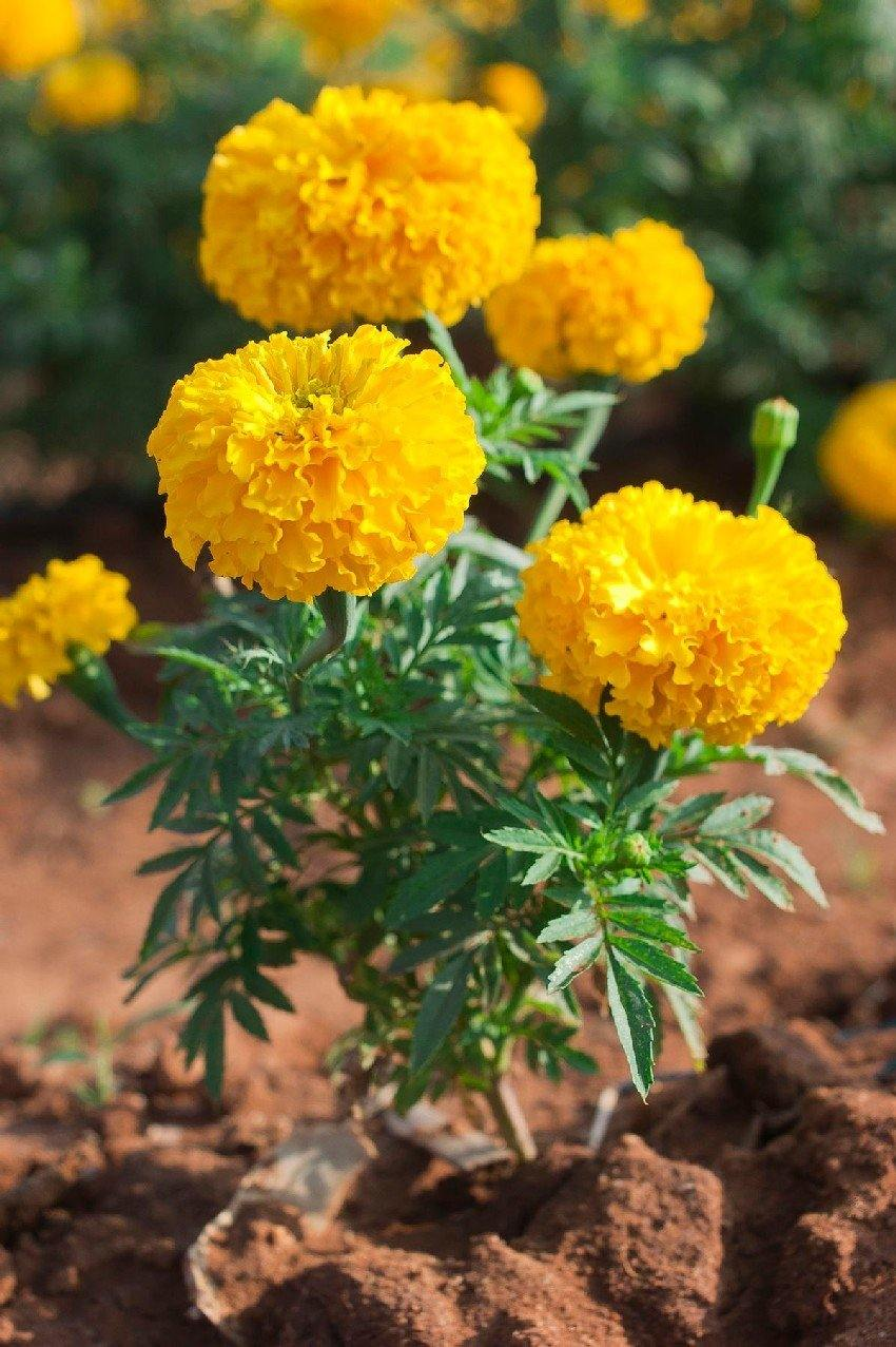 Outdoor plants online in dubai-uae Marigold-Tagetes