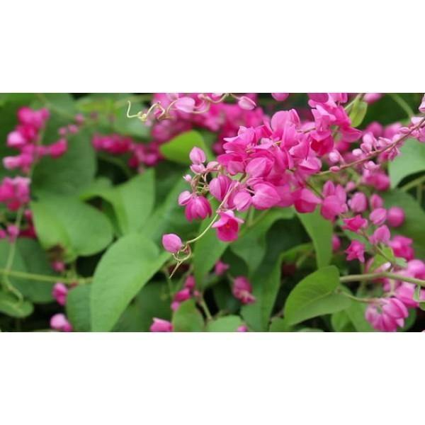 Outdoor plants online in dubai-uae Mexican-Creeper-Antigonon-leptopus
