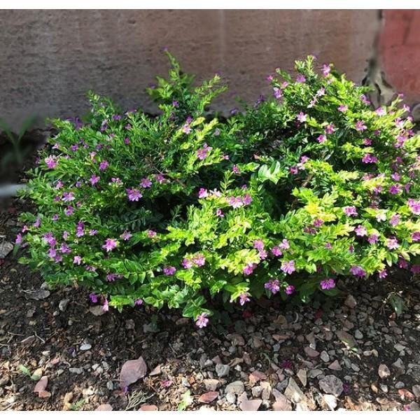 Outdoor plants online in dubai-uae Mexican-Heather-Cuphea-hyssopifolia