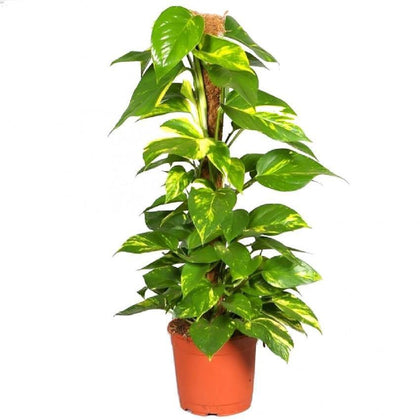 Indoor plants online in dubai-uae-Money Plant-Epipremnum Aureum
